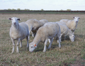 2Wiltipoll Sheep 05.11