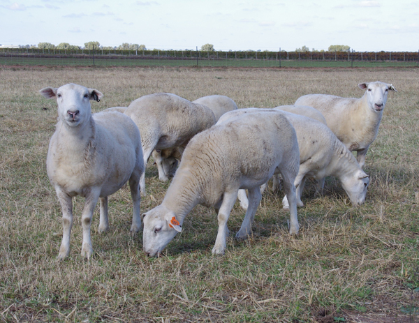 2Wiltipoll Sheep 05.11