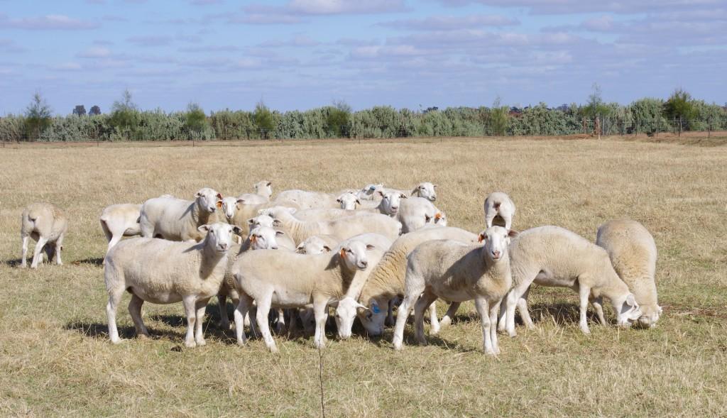 Wiltipoll Sheep 05.11